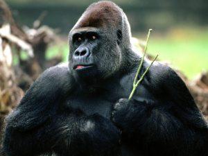 candid-western-lowland-gorilla